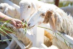 供以人员拿着一些草的手哺养对绵羊 免版税库存图片