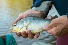 供以人员拿着一条淡水鲂鱼的手 库存照片