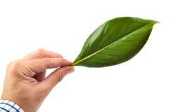 供以人员拿着一片绿色木兰叶子的手  免版税库存图片