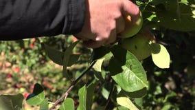 供以人员摘从树的手红色成熟苹果在果树园在秋天 4K 影视素材