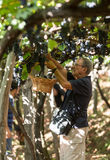 供以人员收获葡萄在马德拉岛Wine Company的葡萄园里在马德拉岛酒节在Estreito de Camara de罗伯斯, Madeir 免版税库存照片