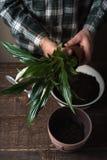 供以人员移植在花盆的一朵花Spathiphyllum 免版税图库摄影