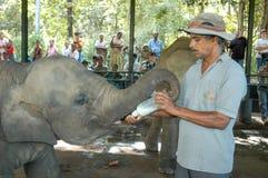 供以人员给瓶牛奶一头年轻大象 图库摄影
