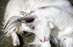 供以座位的白色山羊 免版税库存图片