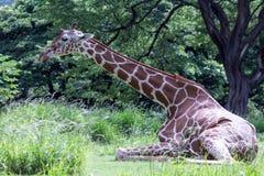 供以座位的长颈鹿疲倦 库存图片