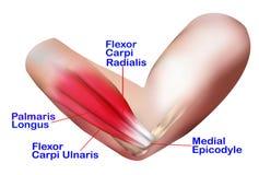 侧向手肘的解剖学 库存例证