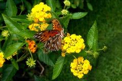 侧向观点的海湾贝母或激情蝴蝶在马樱丹属植物 免版税库存图片