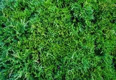 侧柏金钟柏occidentalis是一棵常青针叶树 免版税库存照片