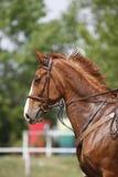 侧视图一匹美丽的栗子展示套头衫马的头射击 免版税库存照片