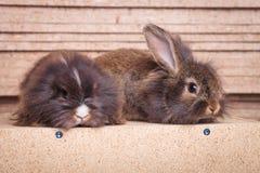侧视图两可爱狮子头兔子bunnys说谎 库存照片