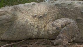 侧视图特写镜头|奥里诺科河鳄鱼,哥伦比亚 股票录像