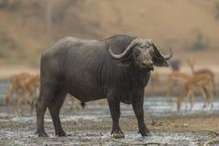 侧视图非洲水牛城公牛(Syncerus caffer) 库存图片