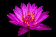 侧视图,特写镜头桃红色莲花在丝毫的水中开花 图库摄影