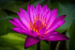 侧视图,特写镜头桃红色莲花在水中开花 库存图片