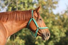 侧视图头射击了一匹美丽的栗子公马在农场 免版税库存照片