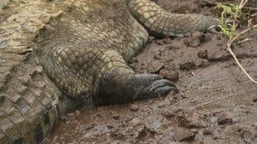 侧视图|河岸的,哥伦比亚奥里诺科河Croc 影视素材