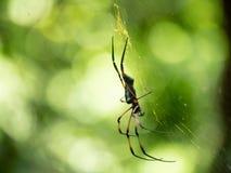 侧角和一只金黄天体织布工蜘蛛的可看见的犬齿在a的 免版税库存照片