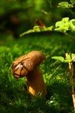 便士小圆面包真菌在青苔森林里,捷克共和国 免版税库存照片