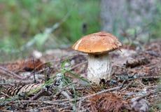 便士小圆面包蘑菇和树的特写镜头 免版税库存图片
