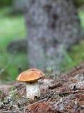便士小圆面包蘑菇和树的特写镜头 库存照片