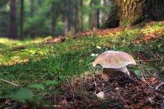 便士小圆面包-牛肝菌蕈类可食在森林里 库存照片
