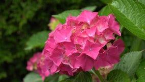 便士橡皮防水布,八仙花属macrophylla 股票视频