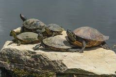 俄亥俄木头乌龟 库存图片