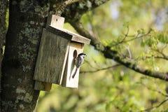 俄勒冈山雀被吸引对鸟舍。 库存照片
