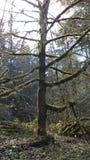 俄勒冈树 免版税库存照片