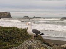 俄勒冈海岸海鸥 免版税库存照片