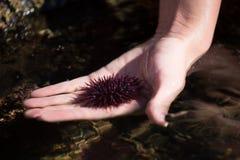 俄勒冈海岸的海胆 库存照片
