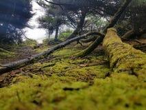 俄勒冈海洋森林 库存图片