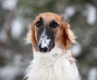 俄国俄国猎狼犬 图库摄影