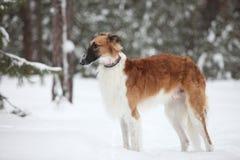 俄国俄国猎狼犬 免版税库存图片