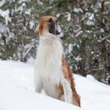 俄国俄国猎狼犬 库存图片
