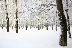 俄国冬天在桦树树丛里 库存照片