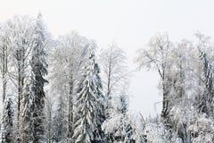 俄国冬天风景树在森林里 免版税图库摄影