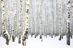 俄国冬天-桦树树丛 免版税库存图片