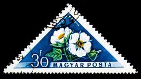俄国木槿(Kitaibelia vitifolia), Flowers (1958) serie, c 免版税库存照片