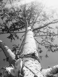 俄国树 库存照片
