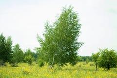 俄国桦树 免版税图库摄影
