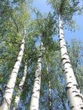 俄国桦树 免版税库存照片