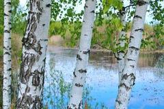 俄国桦树 库存照片