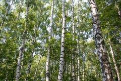 俄国森林 库存照片
