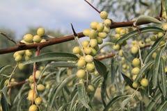 俄国橄榄树(胡颓子属) 库存照片