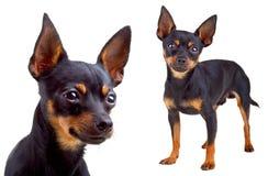 俄国狗玩具 库存照片