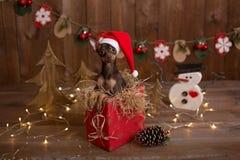 俄国狗的狗在有礼物的一个箱子坐 假日圣诞节 库存图片
