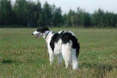 俄国猎狼犬俄语 免版税图库摄影