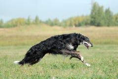 俄国猎狼犬俄语 库存图片