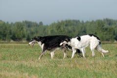 俄国猎狼犬俄语 库存照片